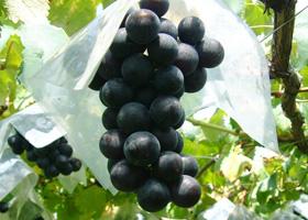 fr_grape