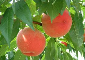 fr_peach