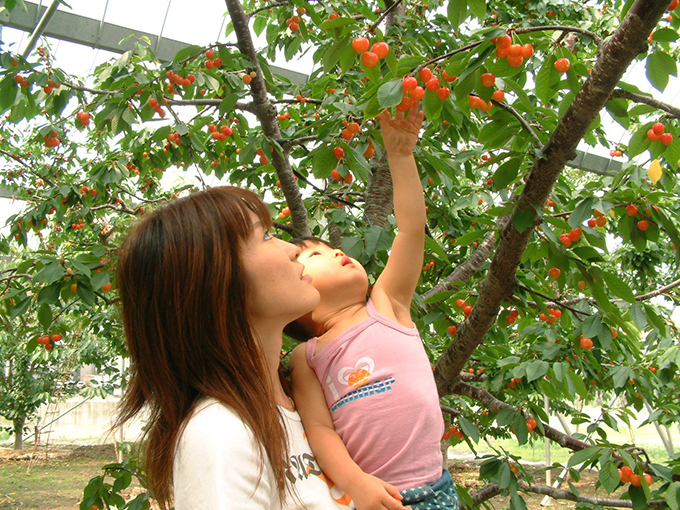 Cherry Picking in Minami Alps City