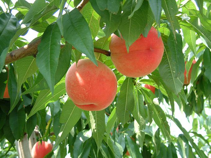 Peach Picking in Minami Alps City