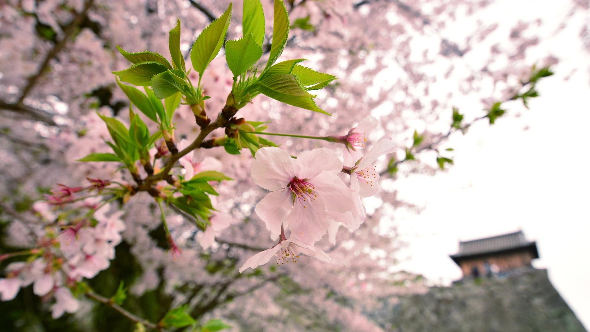 桜スポットのご案内