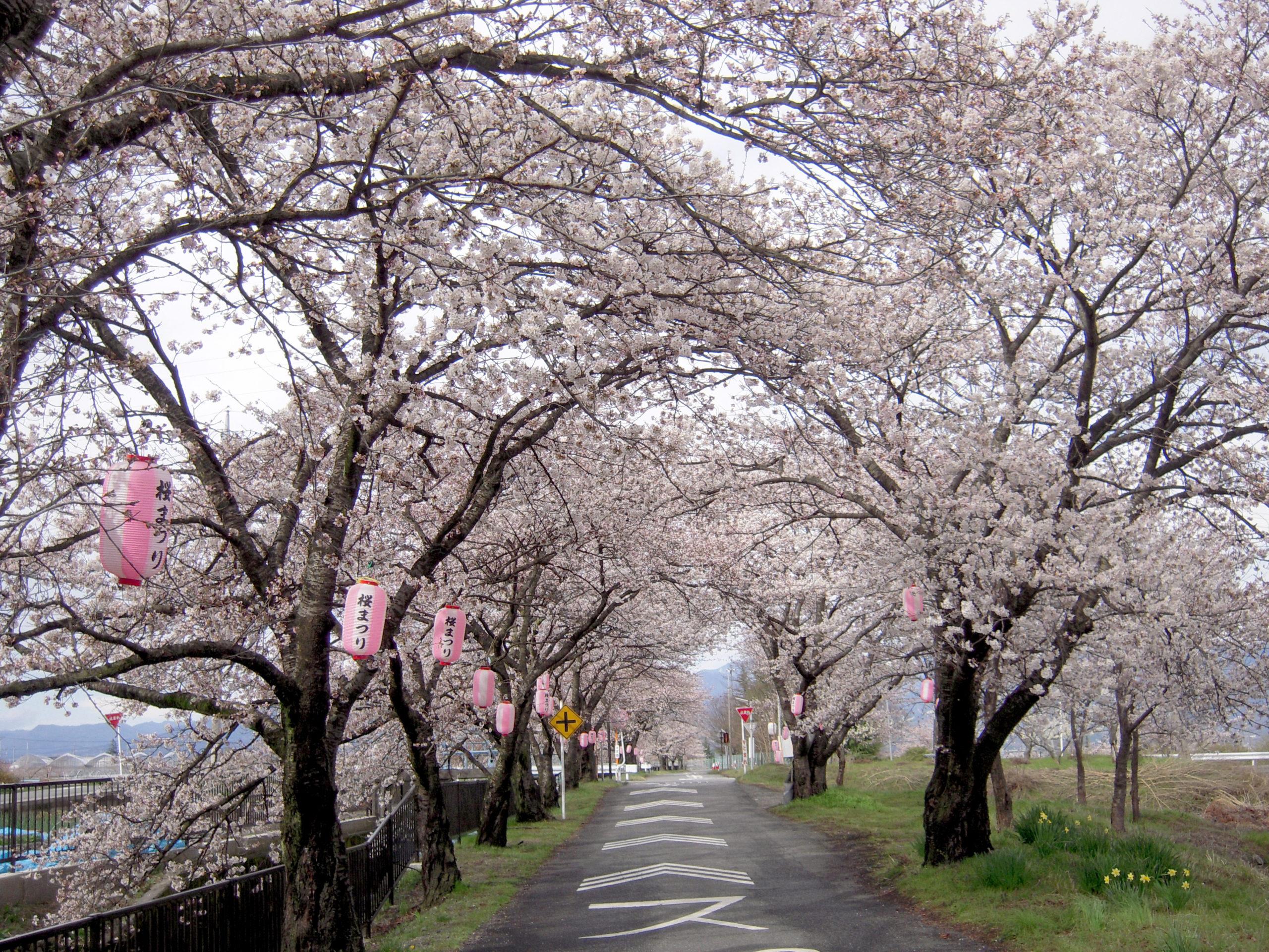 徳島堰沿いの桜並木