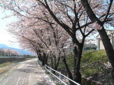 坪川土手の桜