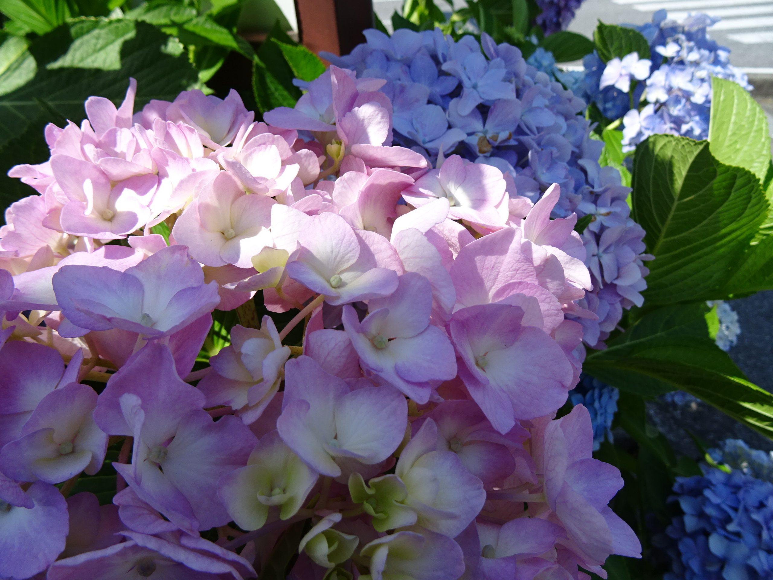 【紫陽花】