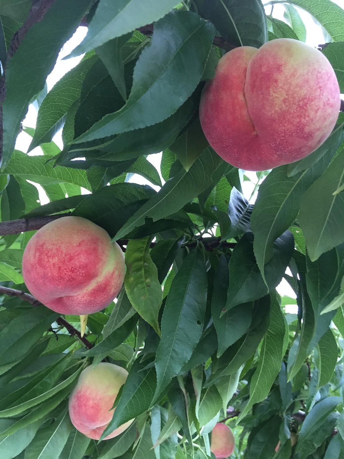 桃の食べ放題イベント 中止のお知らせ