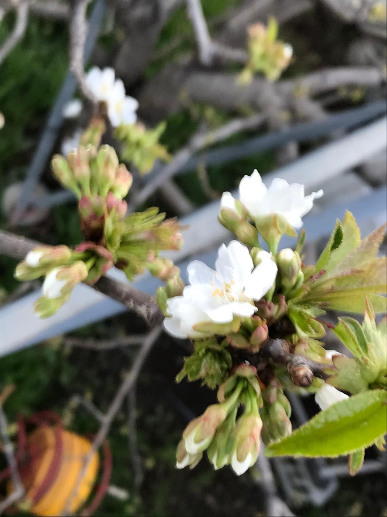 【ハウスさくらんぼの花が咲き始めました!】