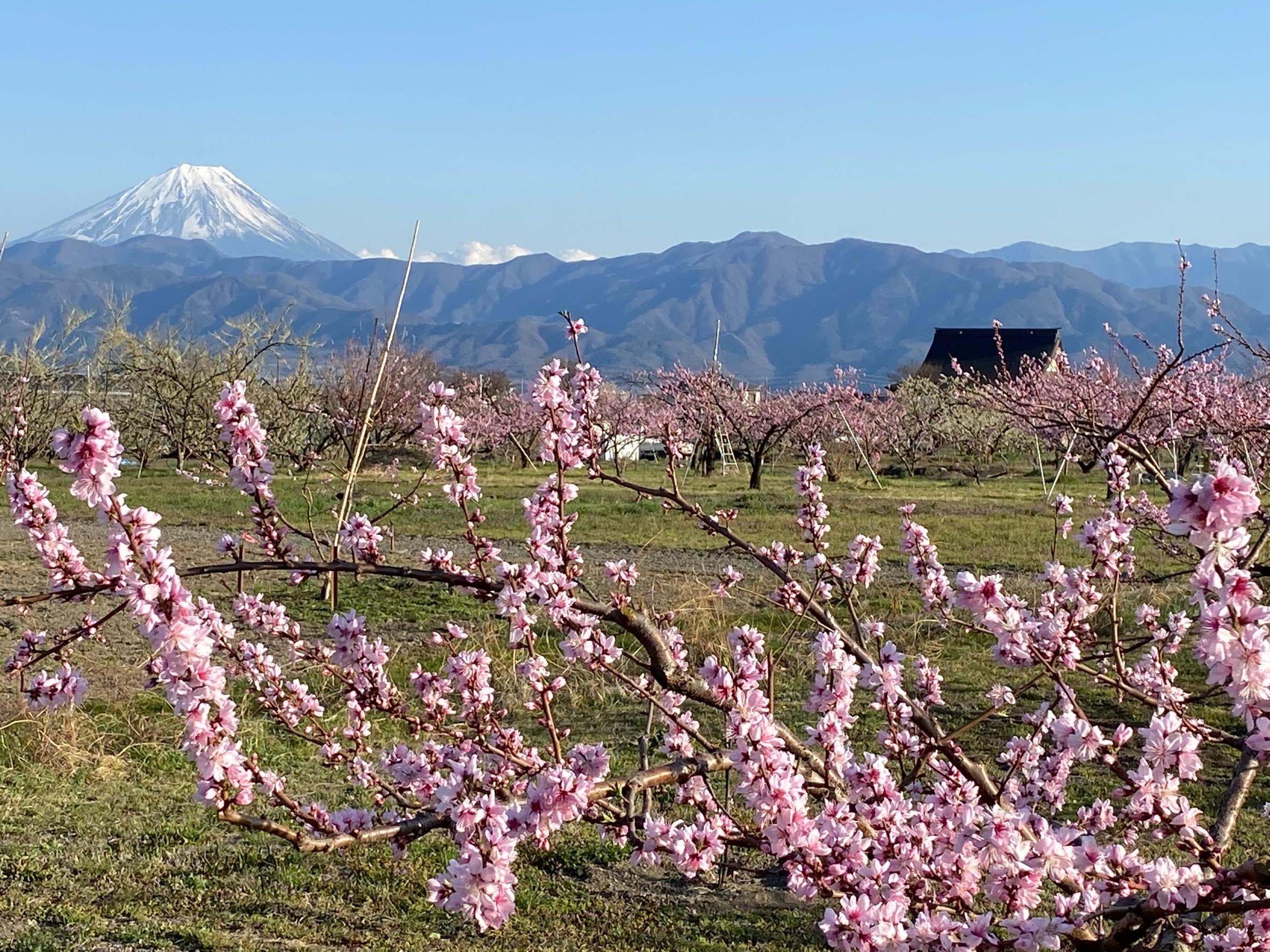 【富士山と桃の花】