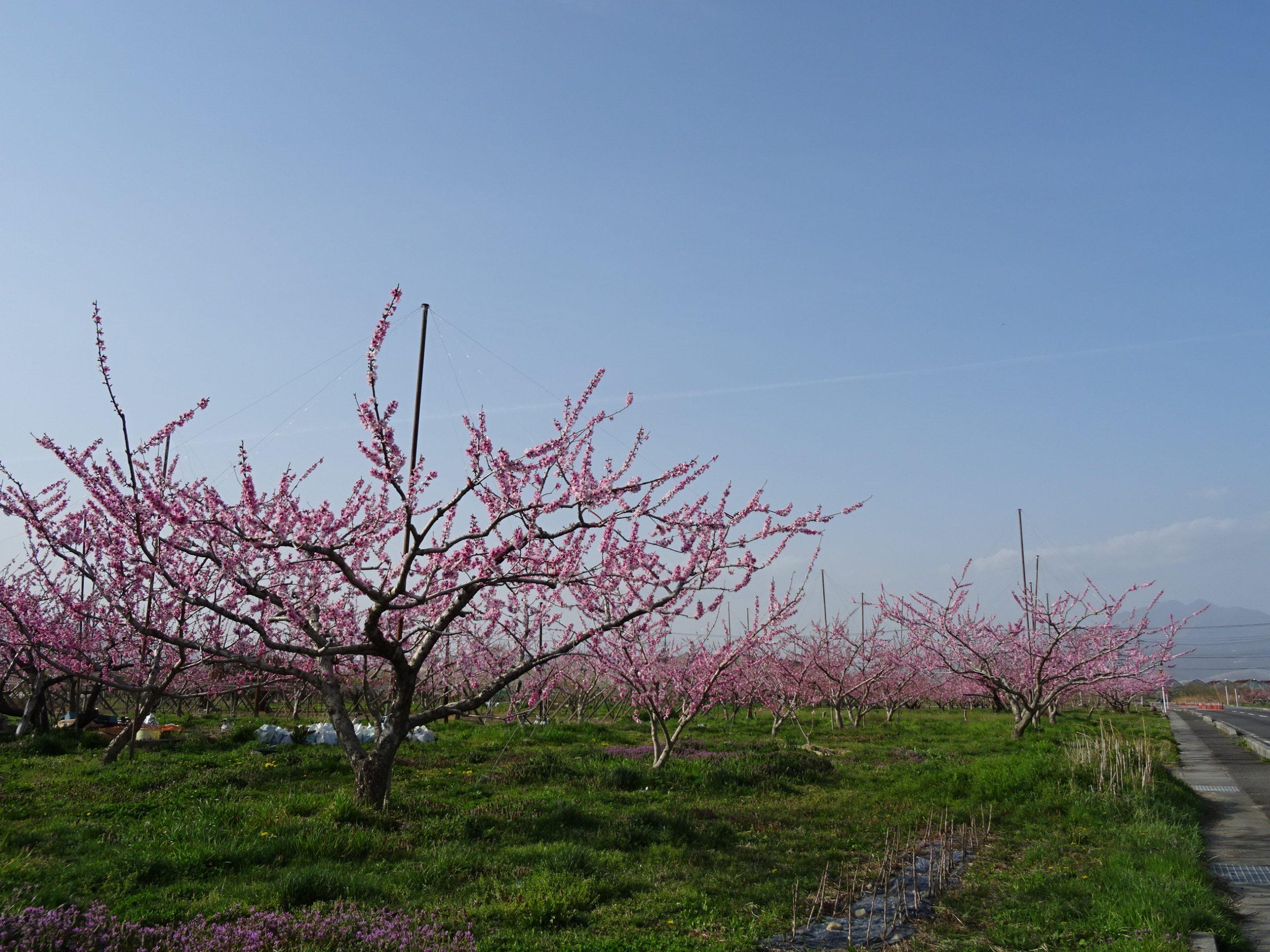 【桃の花】