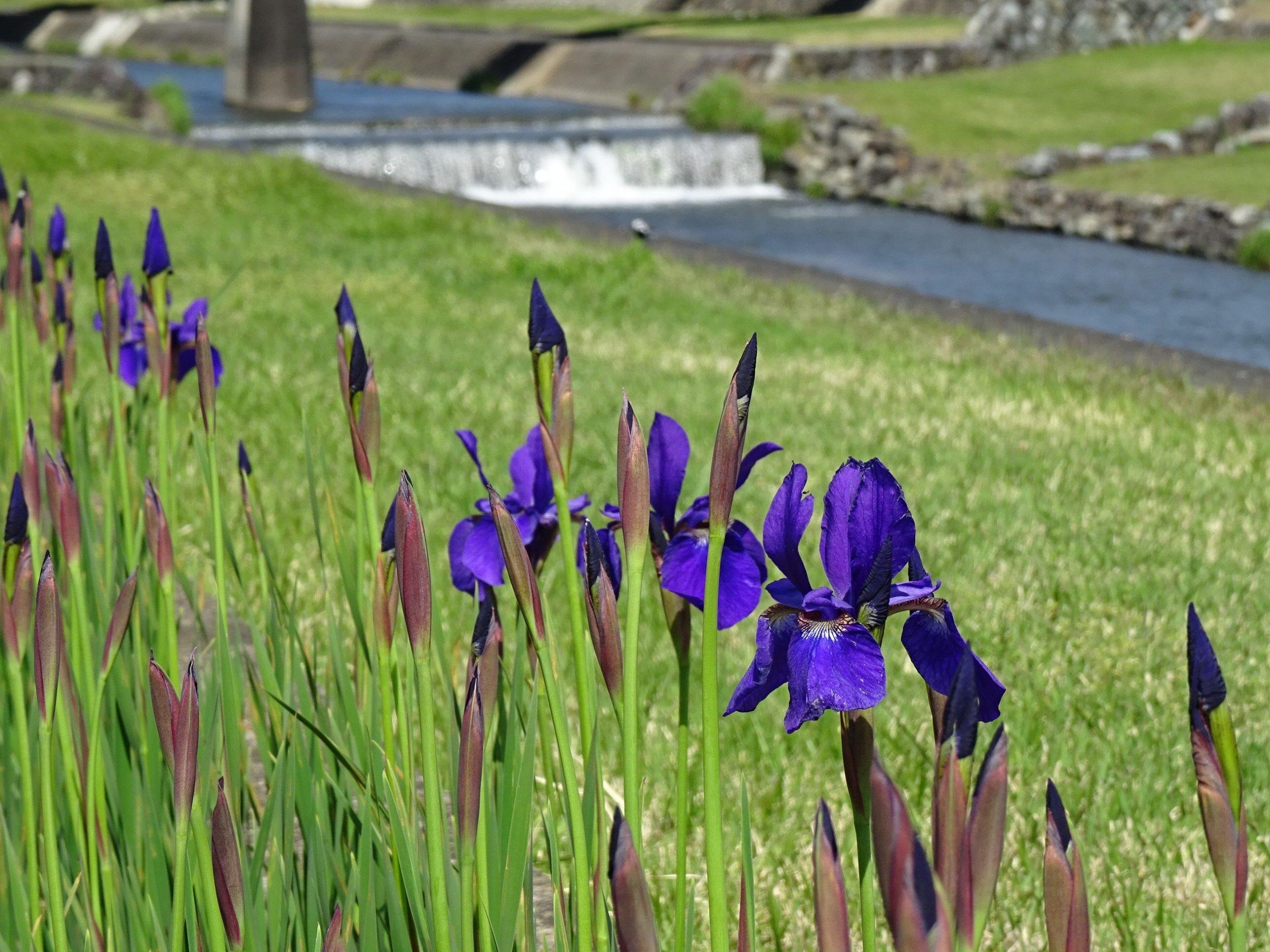 【アヤメ咲き始めています】‐滝沢川公園‐